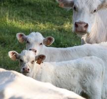 vaches et veaux charolais